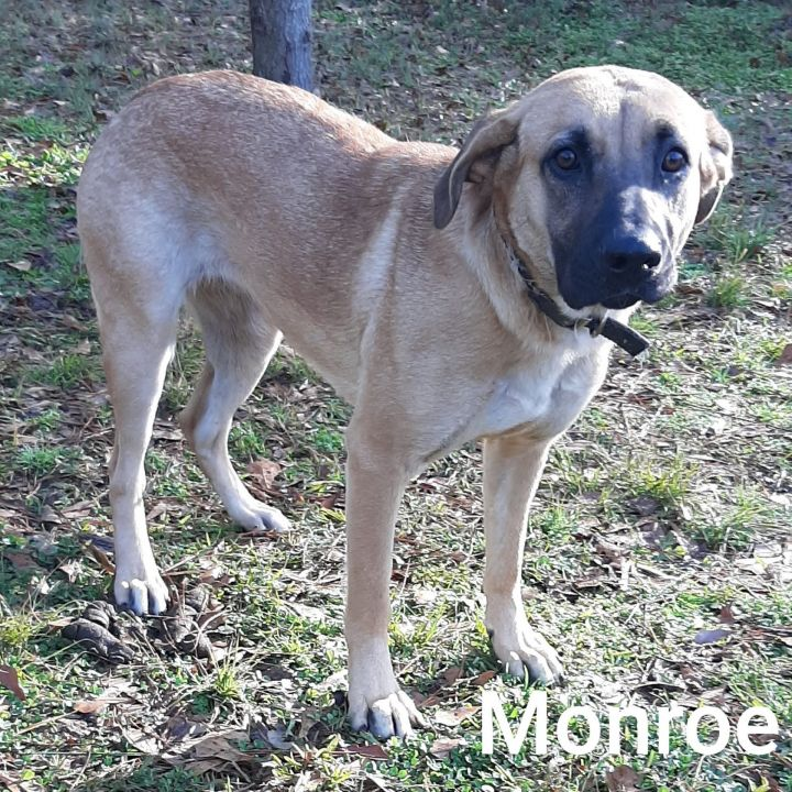Monroe, an adopted Shepherd & Retriever Mix in Minneapolis, MN_image-1