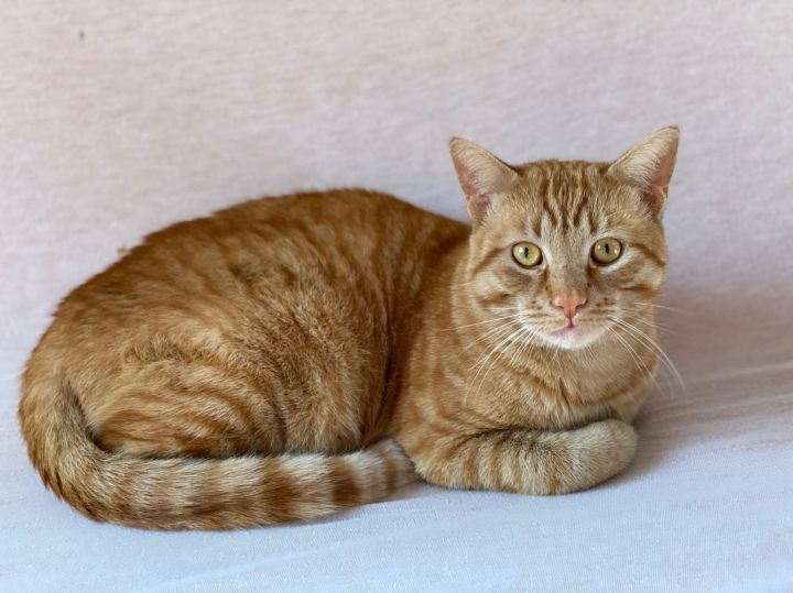 Zeke, an adopted Domestic Short Hair & Tabby Mix in Los Angeles, CA_image-2