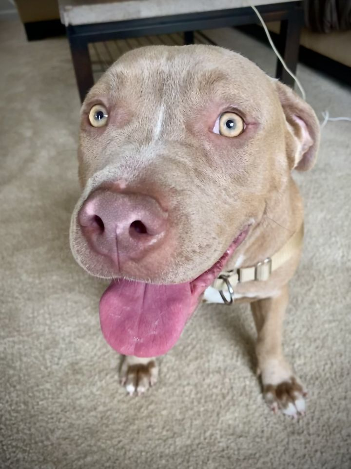 Mississippi, an adopted American Staffordshire Terrier in Lafayette, CA