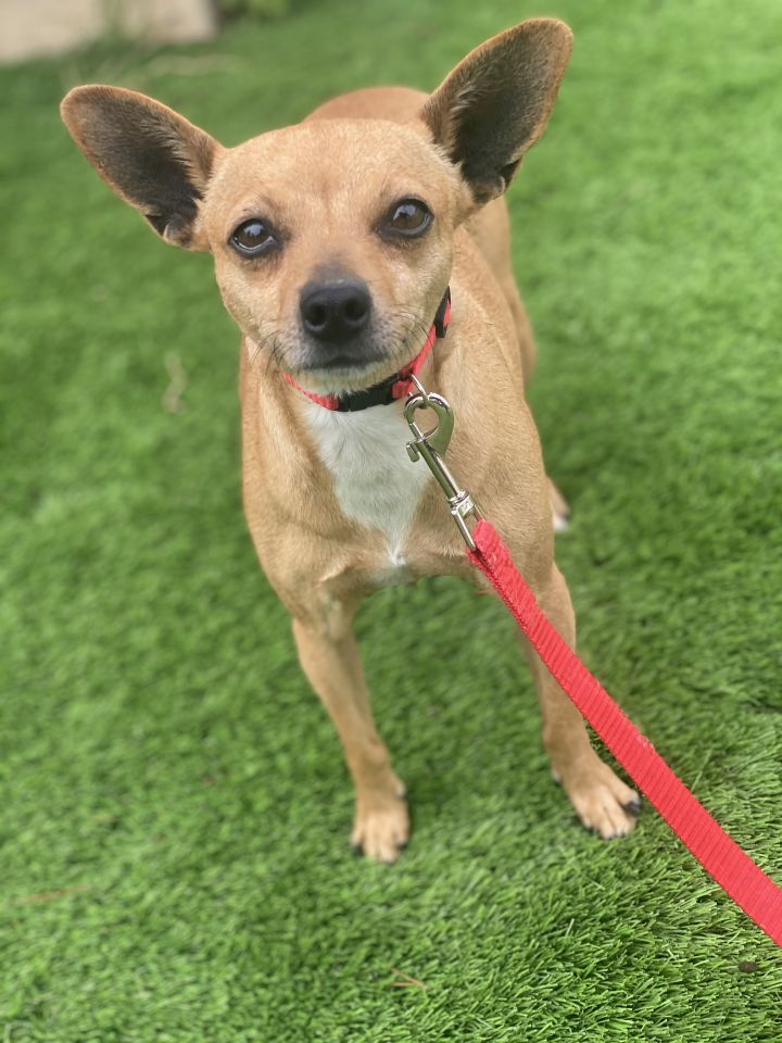 Virginia, an adopted Chihuahua in Lafayette, CA