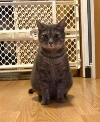 Sylvia, an adoptable Tabby & Domestic Short Hair Mix in Kentwood, MI