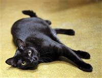Parker, an adoptable Domestic Short Hair in Fairfax, VA