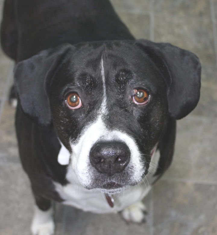 Lily, an adoptable Labrador Retriever & Terrier Mix in Neillsville, WI_image-2