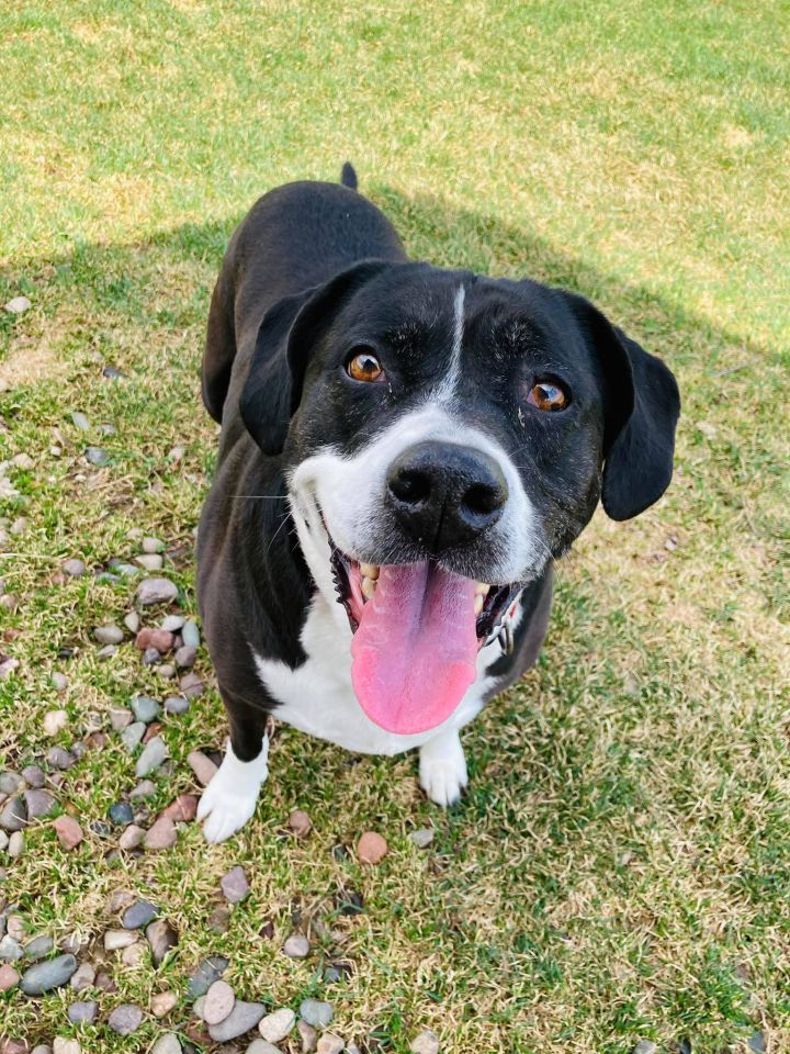 Lily, an adoptable Labrador Retriever & Terrier Mix in Neillsville, WI_image-1