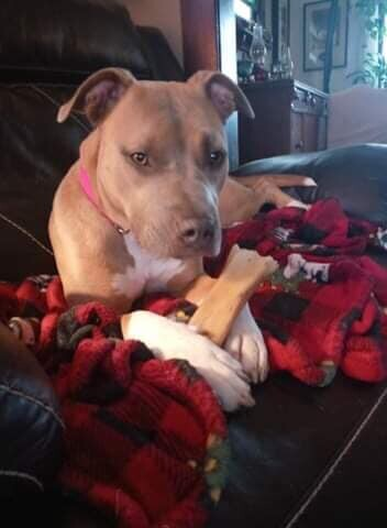 Xena, an adoptable Pit Bull Terrier in Belleville, MI_image-1