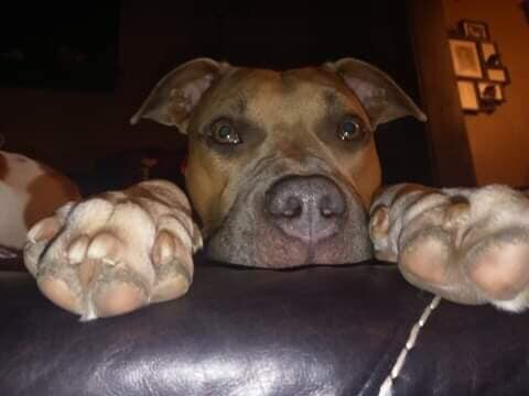 Xena, an adoptable Pit Bull Terrier in Belleville, MI_image-3