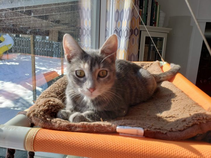 Aziza, an adopted Dilute Tortoiseshell & Domestic Short Hair Mix in Omaha, NE