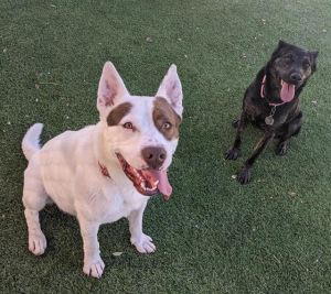 THUNDER American Staffordshire Terrier Dog