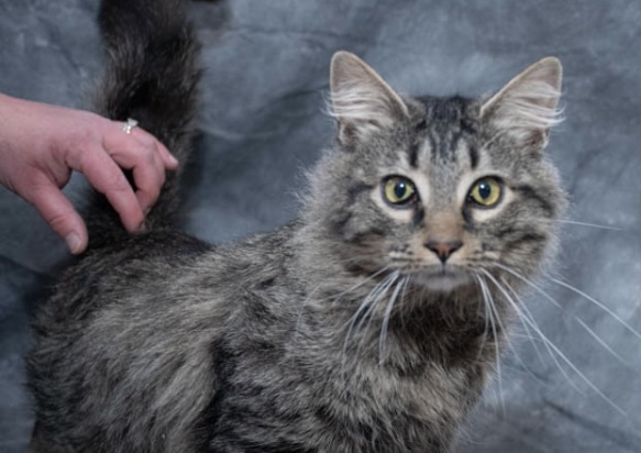 Jack, an adopted Domestic Long Hair in Omaha, NE