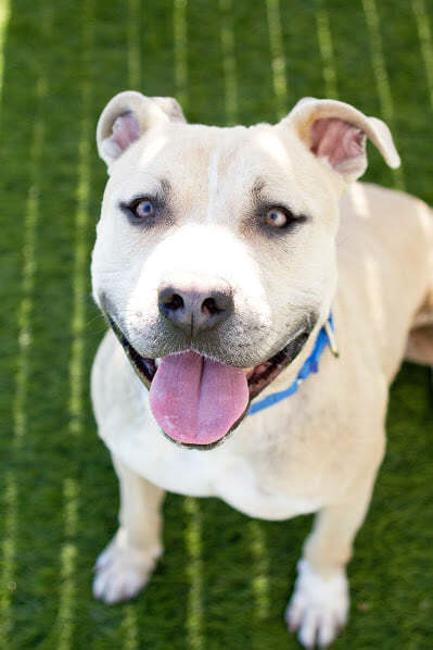 Wilson, an adoptable Pit Bull Terrier Mix in Eagle, ID