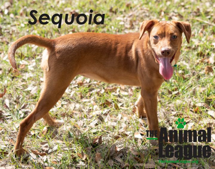 Sequoia, an adoptable Vizsla & Labrador Retriever Mix in Clermont, FL