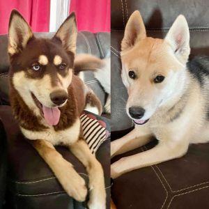 Twlight and Bella Husky Dog