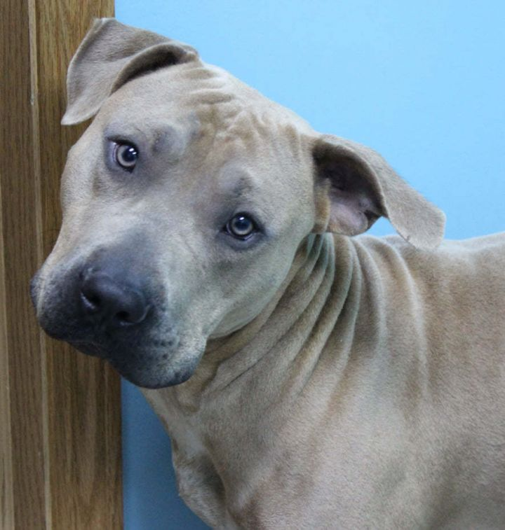 Coco, an adopted Pit Bull Terrier in Neillsville, WI_image-1
