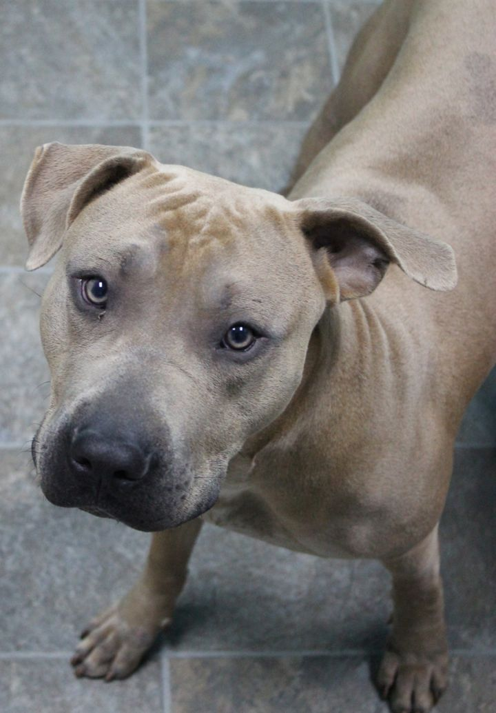 Coco, an adopted Pit Bull Terrier in Neillsville, WI_image-3