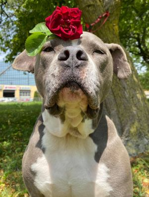 TO APPLY GO TO wwwLuckyDogRefugecom Meet Layne our beautiful blue pit mix This older gent is s