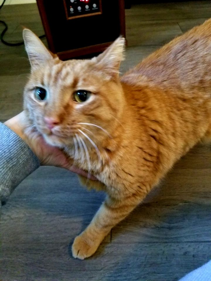 George, an adopted Domestic Short Hair in Omaha, NE