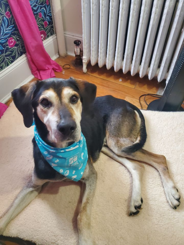 Smokey, an adoptable Bluetick Coonhound Mix in New York, NY