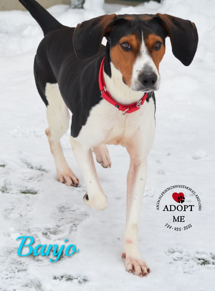 Banjo, an adoptable Foxhound in Youngwood, PA