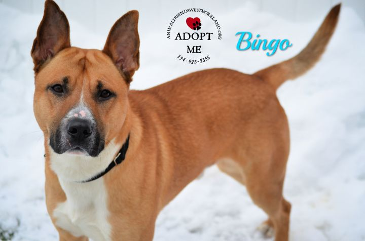 Bingo, an adoptable Shepherd & Terrier Mix in Youngwood, PA