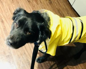 My name is Remy I am a female 42 lb about 3 year old border colliemaybe chow mix I recently