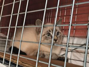 Silas Buttonwood Siamese Cat