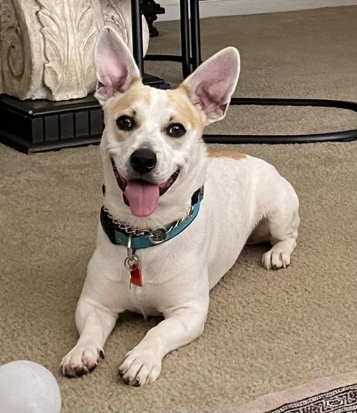 Scooby, an adoptable Corgi Mix in Davie, FL