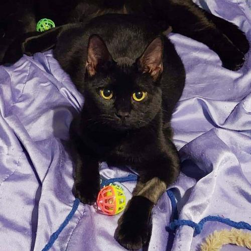 Leni, an adoptable Domestic Short Hair Mix in Springfield, OR