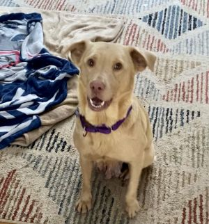 Callie a two-year-old 45 lb Australian ShepherdGolden mix has spent her entire life being used f