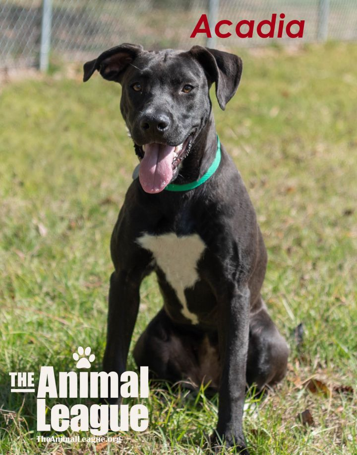 Acadia, an adopted Labrador Retriever & Pit Bull Terrier Mix in Clermont, FL
