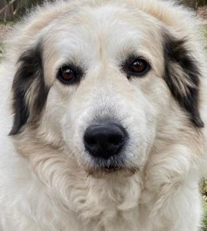 Starting Over Meet Maggie an affectionate Pyr who loves to follow you around She gladly accepts