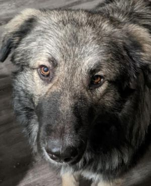 Lovable teddy bear Leon is an absolute sweetheart who loves to present his Pyr Paw for pets kiss