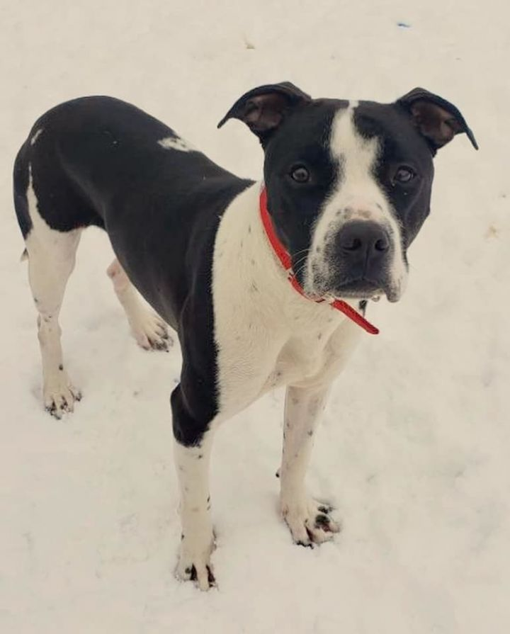 Champ, an adoptable Pit Bull Terrier Mix in Kentwood, MI_image-2