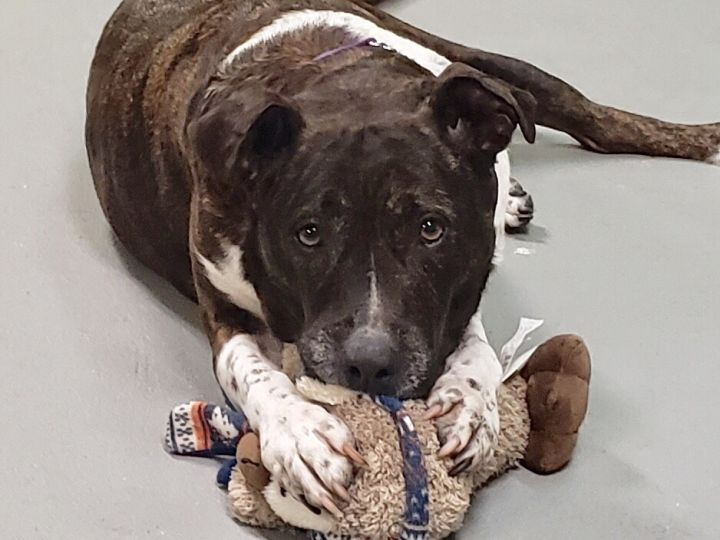 Lolita - foster to adopt, an adoptable American Staffordshire Terrier & Pit Bull Terrier Mix in Cortlandt Manor, NY