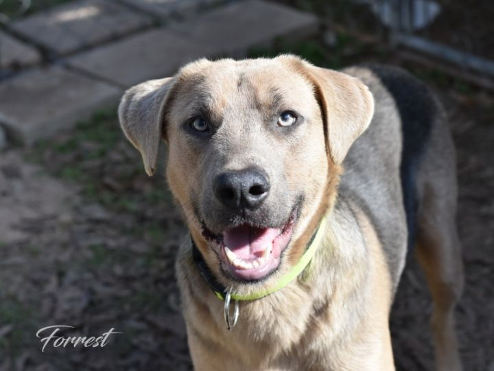Forrest, an adopted German Shepherd Dog & Labrador Retriever Mix in Brewster, NY