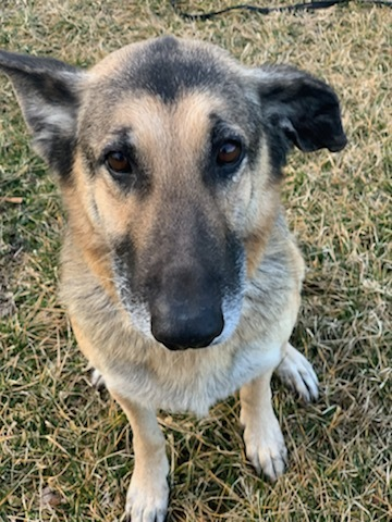 Mikka- extremely sweet!, an adopted German Shepherd Dog Mix in Washington, DC