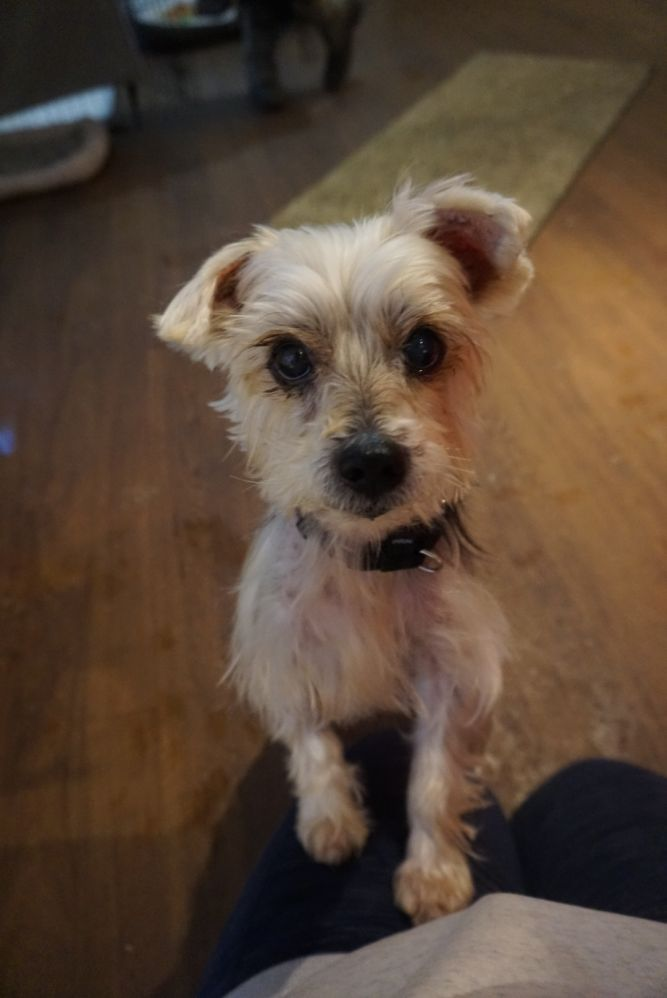 Jack - affectionate and loving yorkie