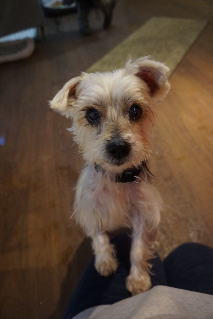 Jack - affectionate and loving yorkie 1
