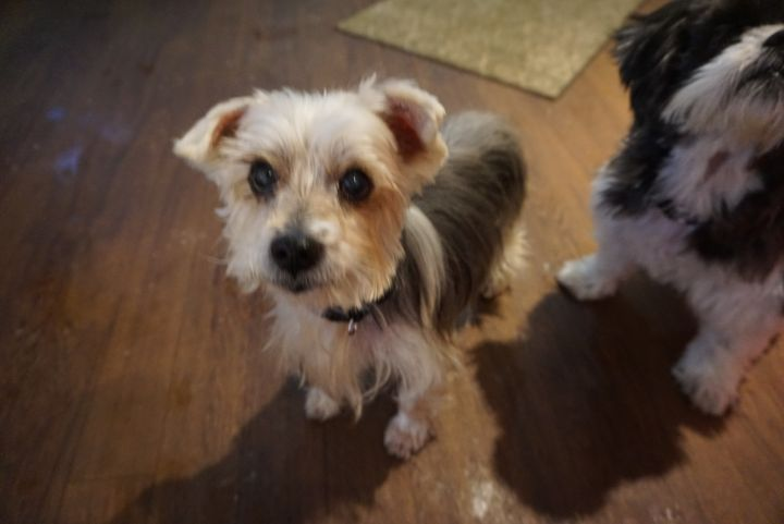 Jack - affectionate and loving yorkie, an adopted Yorkshire Terrier in Ossining, NY