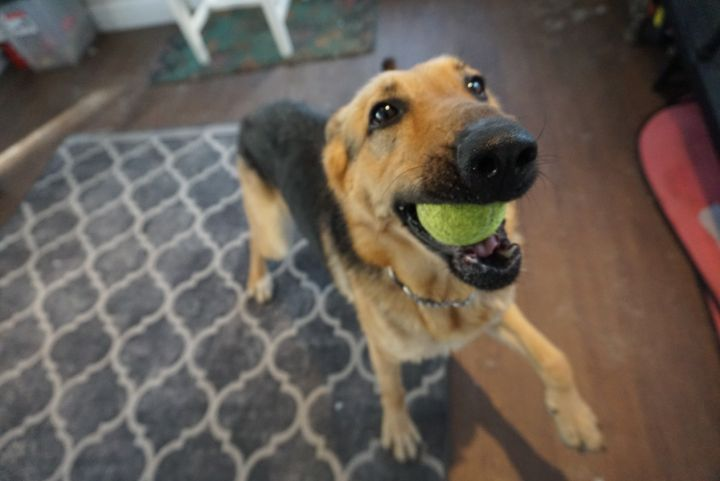 Jeni - courageous and ball obsessed shepherd 3