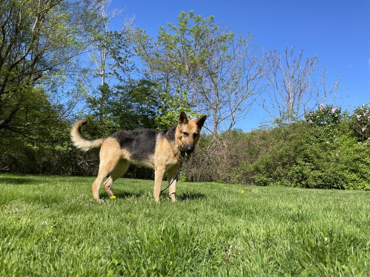 Jeni - courageous and ball obsessed shepherd 4