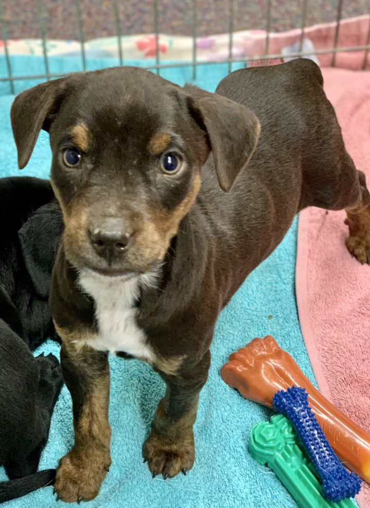 Bluebell, an adoptable Hound & Labrador Retriever Mix in Omaha, NE