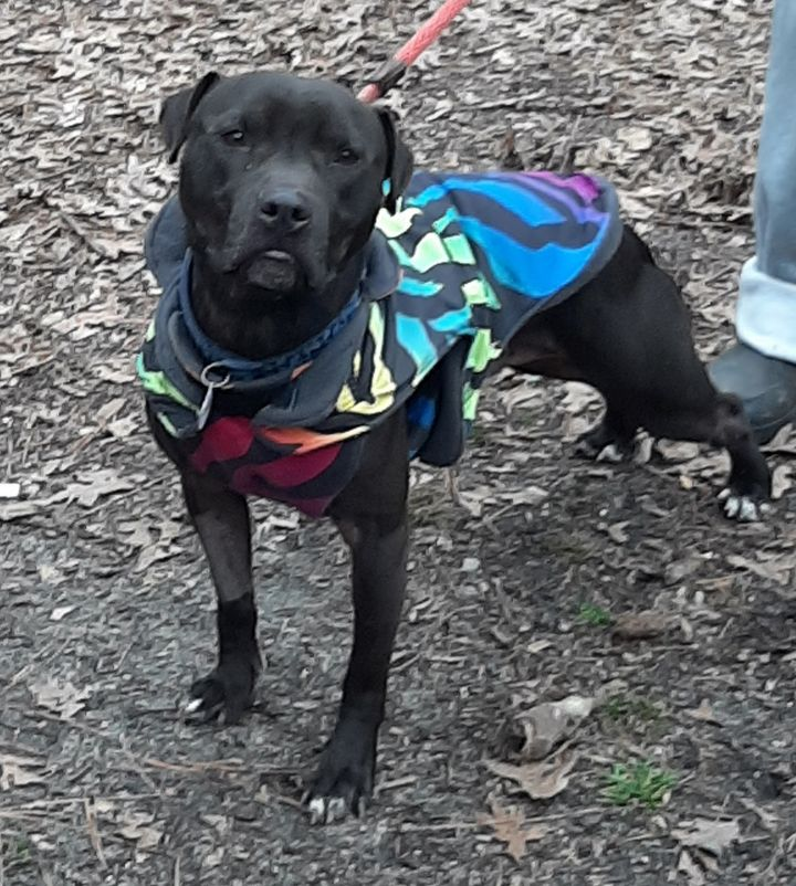 Salem, an adopted American Staffordshire Terrier Mix in Clayton, NC_image-3