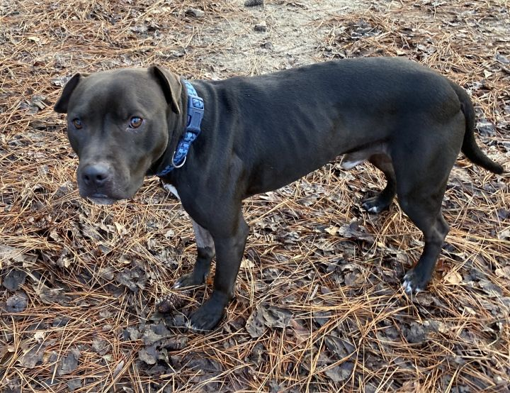 Salem, an adopted American Staffordshire Terrier Mix in Clayton, NC_image-5