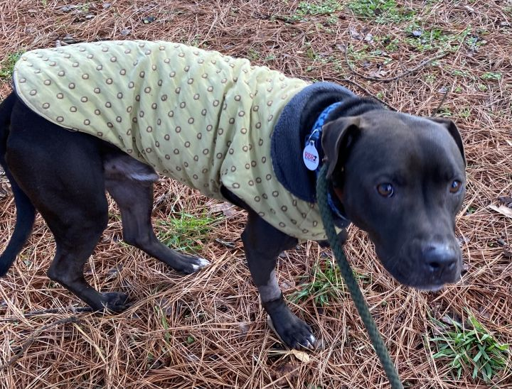 Salem, an adopted American Staffordshire Terrier Mix in Clayton, NC_image-6