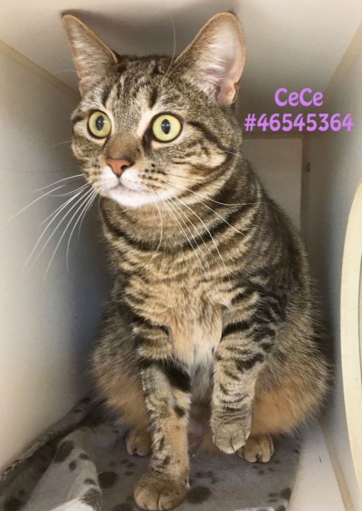CeCe, an adoptable Tabby in Wilkes Barre, PA_image-1