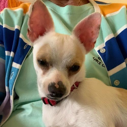 ALEX MANES, an adoptable Chihuahua Mix in Redmond, WA
