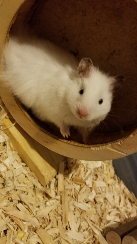 Hamsters, an adopted Hamster in Manahawkin, NJ