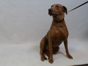 21-06692 Weimaraner Mix Brown Impounded on 02152021 from Downey Available for adoption holds on 02