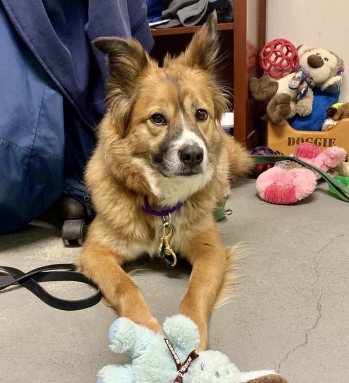Caddy, an adoptable Australian Shepherd & Collie Mix in Cortlandt Manor, NY