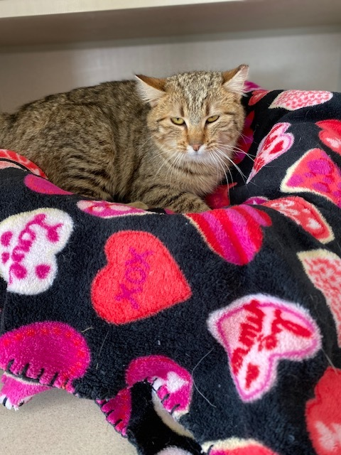 Ally, an adoptable Domestic Short Hair in Ridgway, CO